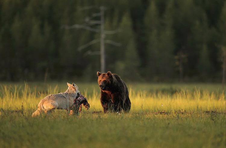 Невероятная дружба медведя и волчицы