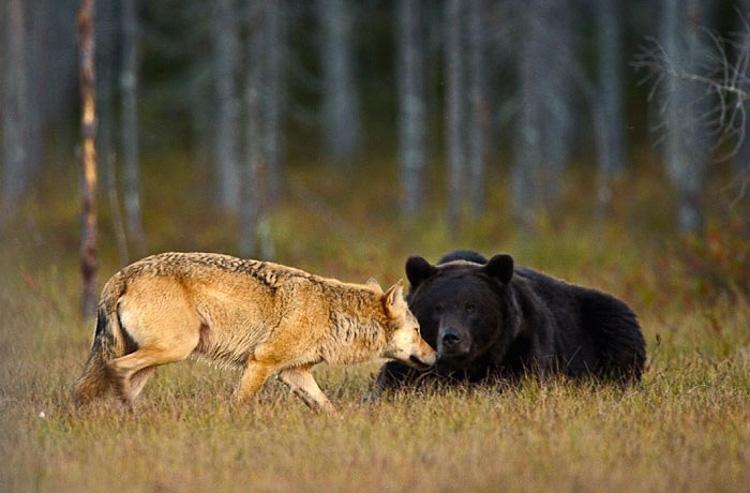 волк и медведь охотятся вместе