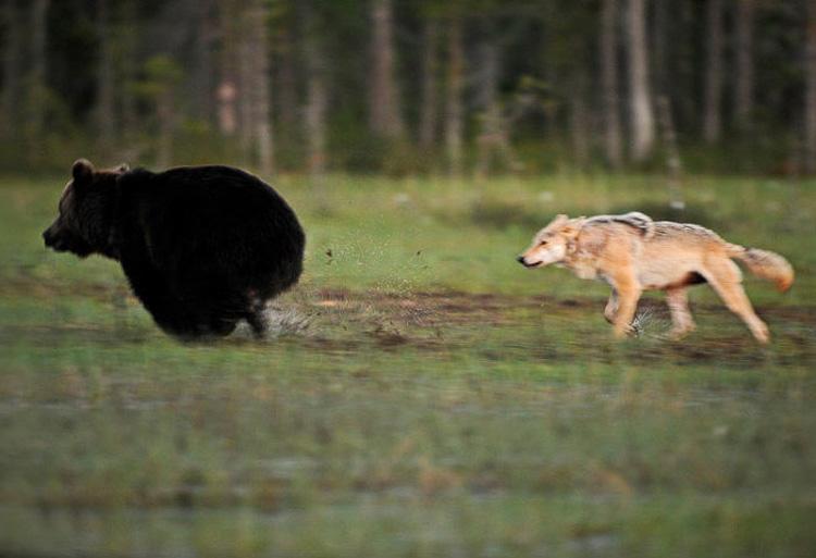 волк и медведь стали близкими друзьями