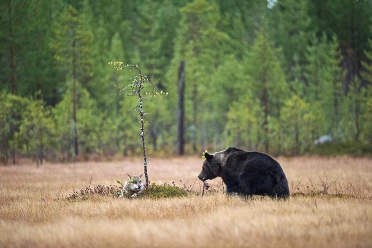 волчица и медведь живут вместе
