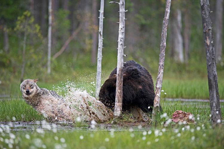 волк и медведь живут вместе