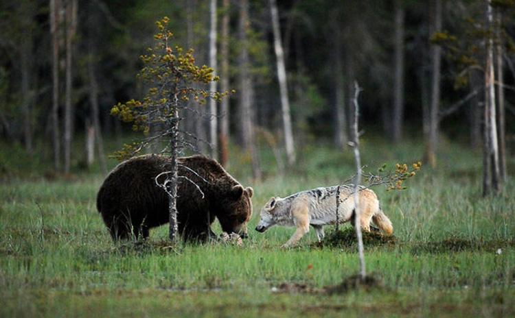 дружба самки серого волка и самца бурого медведя
